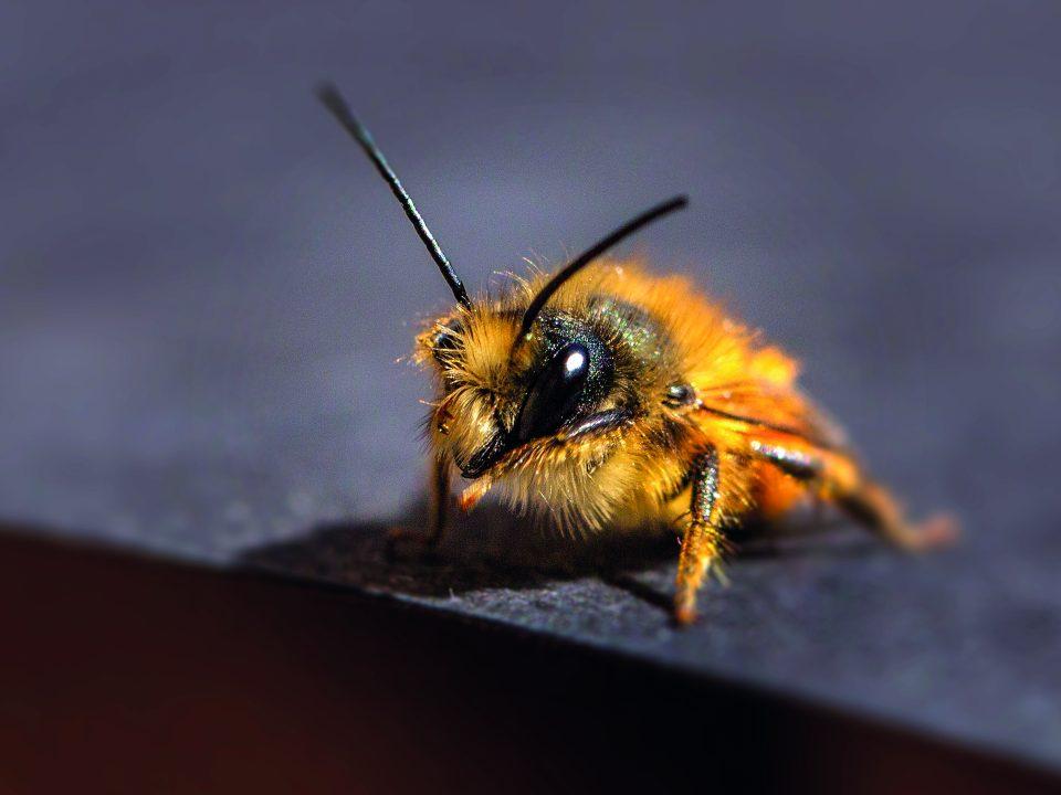 Wildbiene: Heimliche Bewohner der Museggmauer